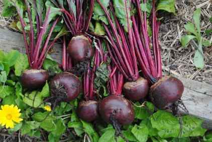 Beets picked