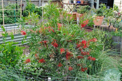 Callistemon etc