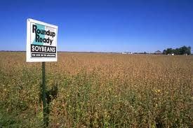RoundUp Ready soybeans