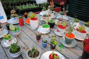 Succulents in cups