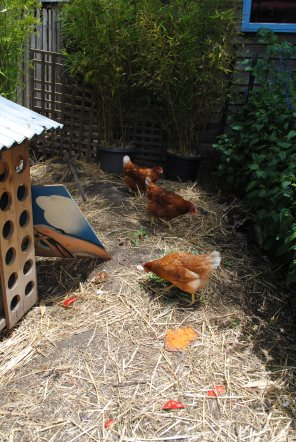 New brown chooks