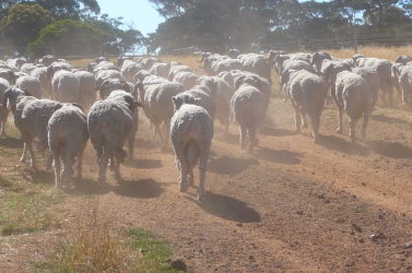 Dipped sheep heading out to the paddock