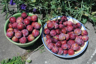 Picked plums