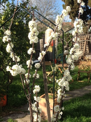 Plum in spring 13
