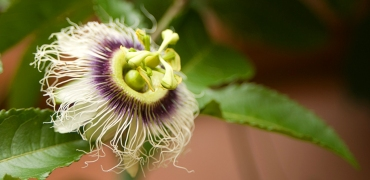 passionfruit-flower