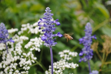 Bee flying & Salvia