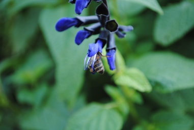 Bee in Salvia 2A