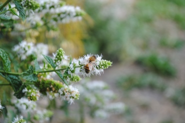 Bee and Mint Flowers