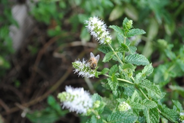 Bee & Mint flower