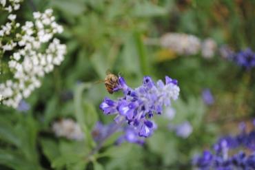 Bee & Salvia 3