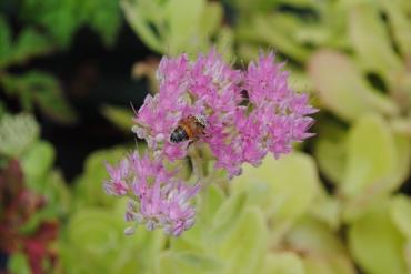 Bee & Sedum
