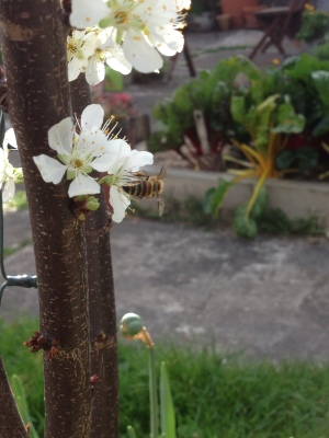 Bee on Satsuma Plum