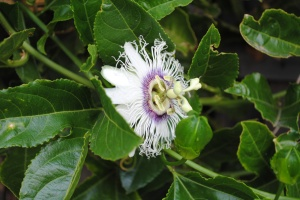 Passionfruit flower in April