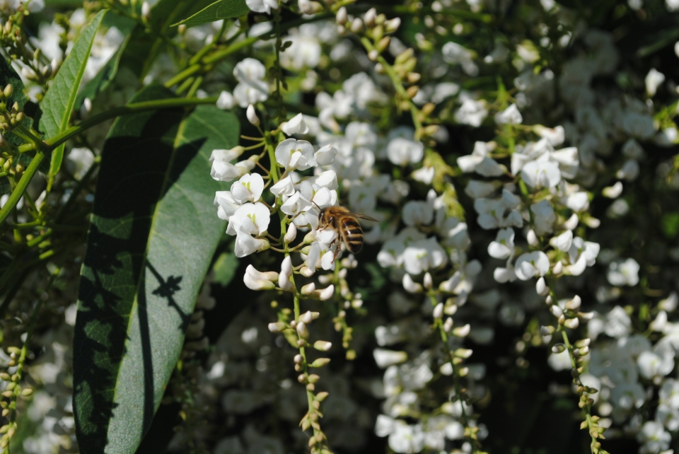 Bee on Hardenbergia