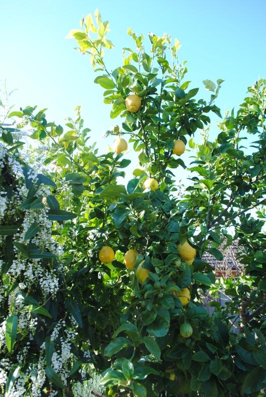 Lemons & hardenbergia