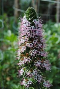 Echium Heronswood Pink