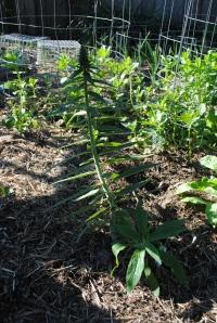 Echium pre-flowering